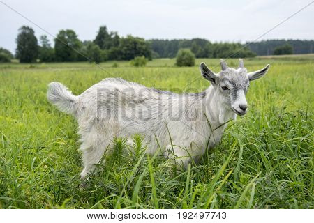 In the summer on the field a small gray goat in the tall grass.