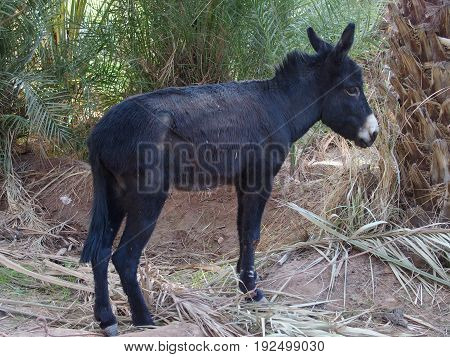 Cute alone black donkey waits between palms in arabian oasis in Morocco on 2017 warm sunny winter day, Africa on February.