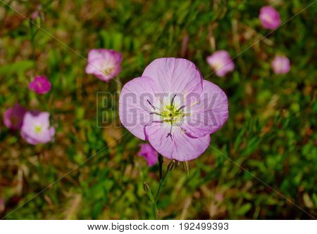 Close up primrose flower in the garden,California.