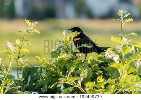 a redwing blackbird sitting in a bush watching the joggers