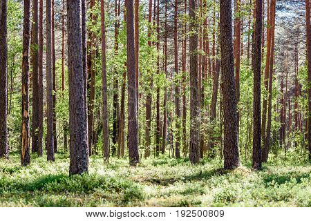 Green Forest With Tree Trunks In Summer