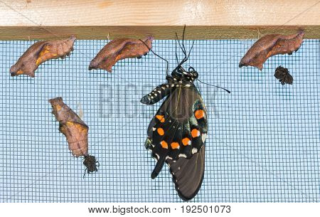 A freshly eclosed Pipevine Swallowtail butterfly hanging down next to four uneclosed chrysalises, letting his wings fill out and dry