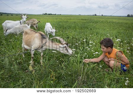 In summer on the field near the bushes the boy wants to feed the goat with grass.