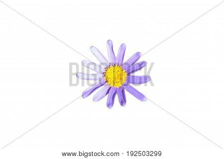 Single purple felicia amelloides top view isolated on a white bakground