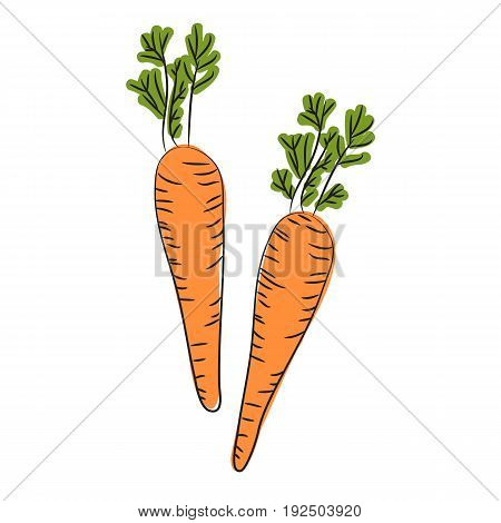 Farm carrot vegetable isolated sketch. Fresh carrot orange root with green leaves. Carrot plant icon for vegetarian food organic farming themes design