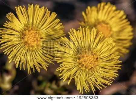 Three yellow flowering coltsfoot flowers. Tussilago farfara.