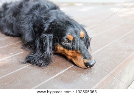 sleepy Dachshund (Longhaired) dog on the floor