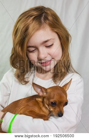 The little girl gently holding a small dog breed Russian toy - Terrier