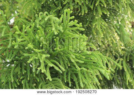 Fir Tree Branch Or Christmas Tree