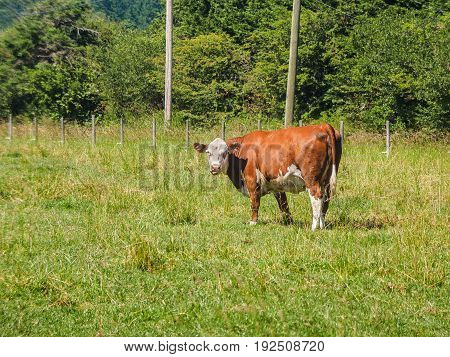 Brown cow grazing on the grass field