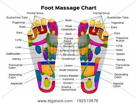 Foot reflexology chart with description of the internal organs and body parts. Vector illustration . anatomy poster