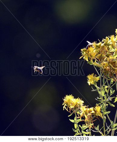 Image Of A Bee On A Yellow Flowers Of Hypericum Perforatum, St. John's Worth