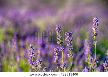 Colorful purple Levander Fields in the summer