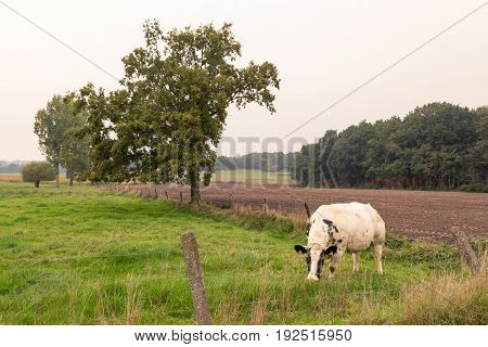 A cow (Belgian White Blue) with black spots grazing behind a barbed wired fence looking at camera. Kortenaken Flanders Belgium