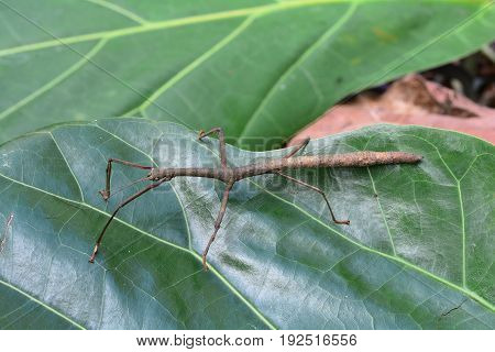 A brown stick insect walks in the jungle looking for action.