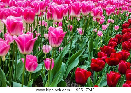 pink and red tulips Keukenhof flower garden, Holland