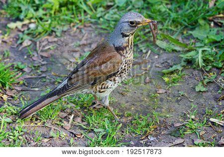 Bird of Thrush closeup with a worm in its beak