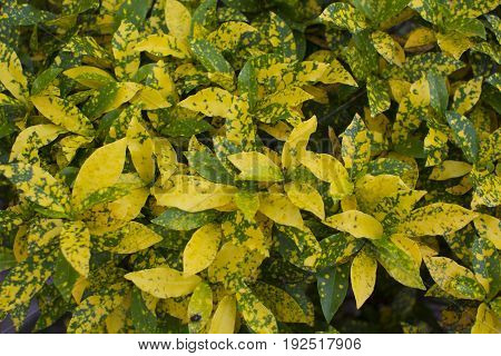 Croton / Tropical plant  foliage plants of Southeast Asia
