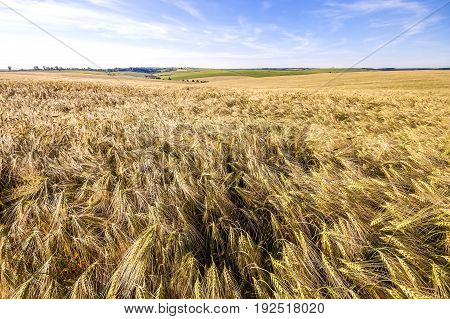 Ears of golden wheat close up. Beautiful Nature Landscape. Rural Scenery under Shining Sunlight. Rich harvest Concept