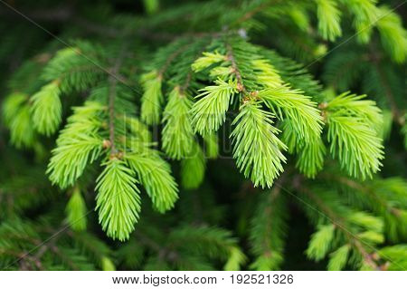 New Spruce Branches. Needles And Tree Branches Close-up