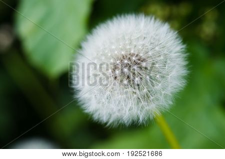 White dandelion bud with seeds close-up on green background