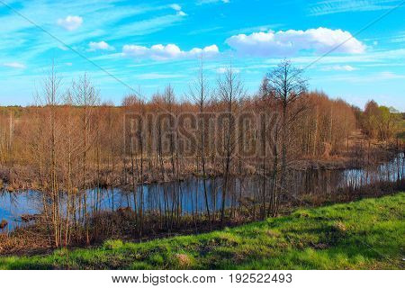 spring landscape with many trees of branch of alder and picturesque pond