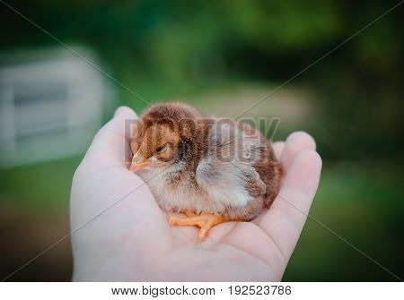 A Small Brown Chick In A Man's Hand. Great Plan.
