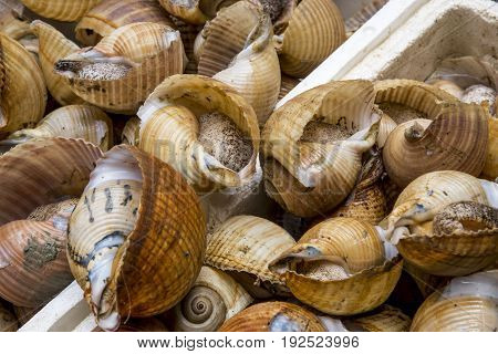 Sea Snail on sale in Catania Italy Fresh Food Market