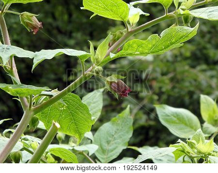 Deadly Nightshade, Belladonna Blossom,