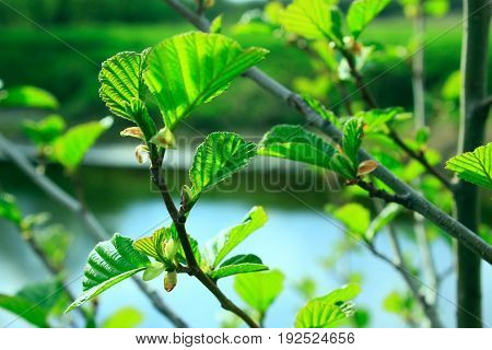 branch of young leaves of alder in the spring