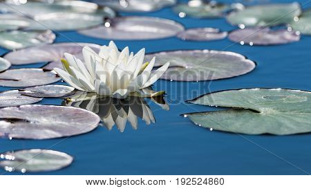 White Lotus Flower On Mirror Blue Pond Surface