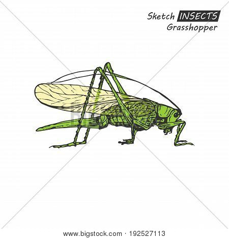 Hand drawn ink sketch of grasshopper isolated on white background. Vector illustration. Drawing in vintage style.