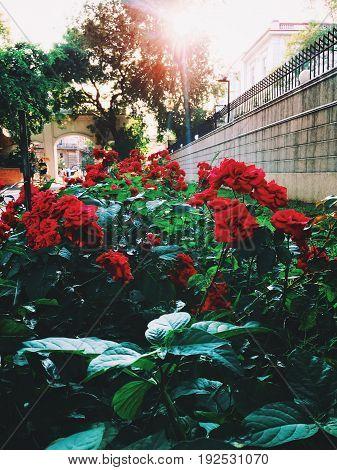 Rose bush in the garden. Red roses under the sunlight.