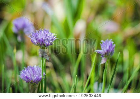 Allium hollandicum, purple Persian ornamental onion flowers