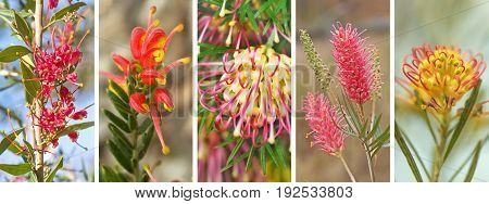 Panorama banner of spring and winter spring winter flowers of Australian native Grevillea wildflowers