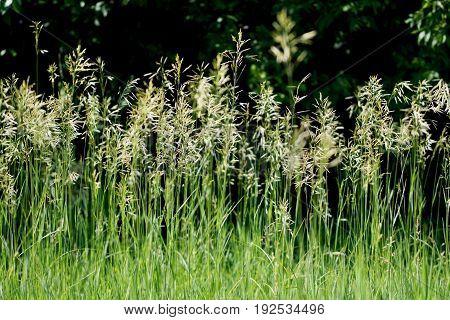 Bright green wild grass against a dark green background