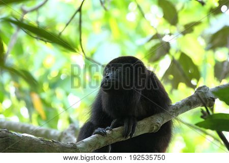 Yucatan black howler or Guatemalan Black Howler Monkey