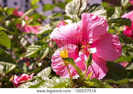 Hibiscus. Beautiful tropical plant with pink flowers. Mediterranean tree.