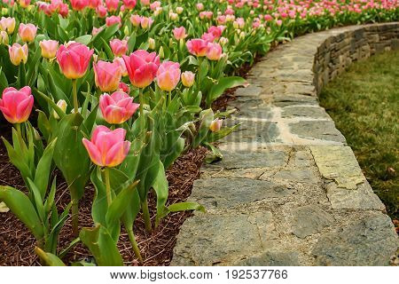 Tulips blooming in the spring time garden