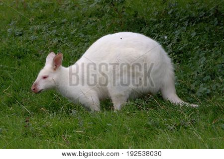 White albino wallaby under the shade of a tree