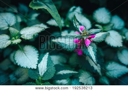 Pattern background of Solenostemon scutellarioides, Painted nettle or Flame nettle