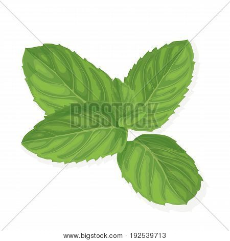 Mint leaf. Realistic vector illustration of spearmint. Plant with fresh menthol aroma isolated on white background. Ingredient for cocktails and food garnish