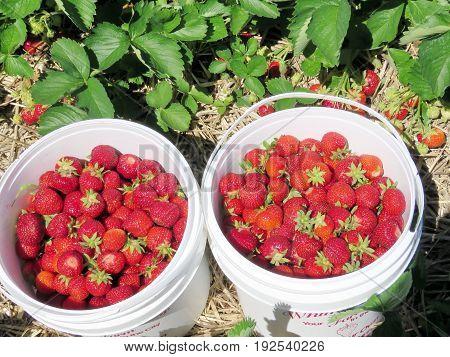 Strawberries on field in Markham Canada June 24 2017