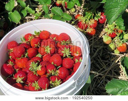 Strawberry in the bucket on field in Markham Canada June 24 2017