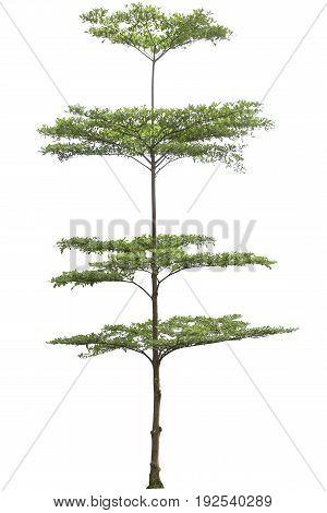 Terminalia Ivorensis Tree Isolated On White Bakcground, Clipping Path