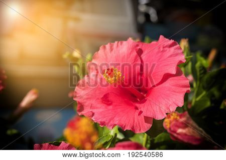 Red Hibiscus Flower on Leaves background with ray of light