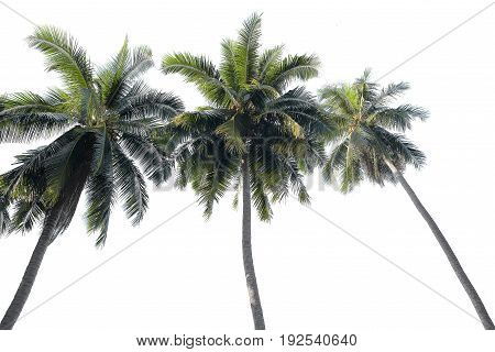 3 Coconut tree isolated on white background