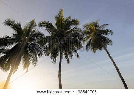 3 Coconut palm trees on sunset time