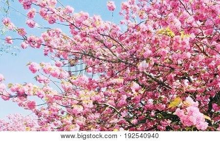 Beautiful tree blooming with pink petals for the start of spring!