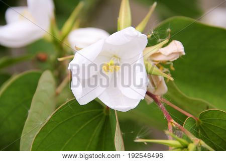 The flower of  a quince in the pant
